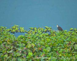 majuli-fauna-flickr_35799821156